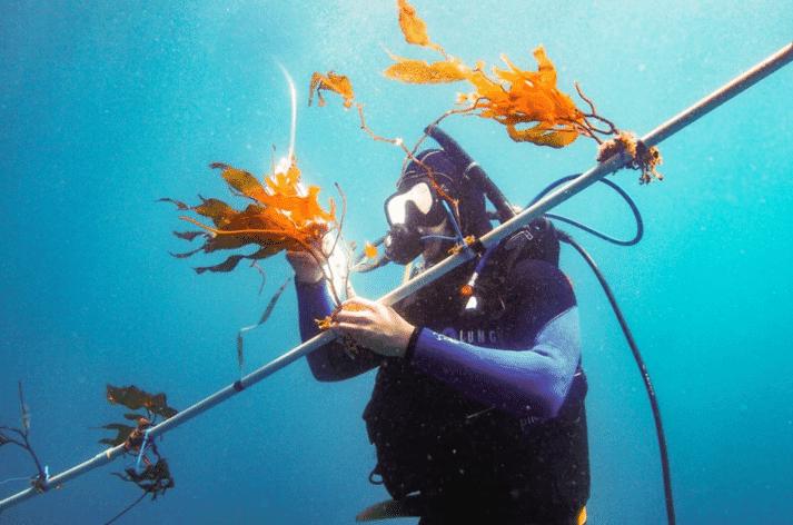 "A diver attaches juvenile kelp to a prototype ""kelp elevator"""