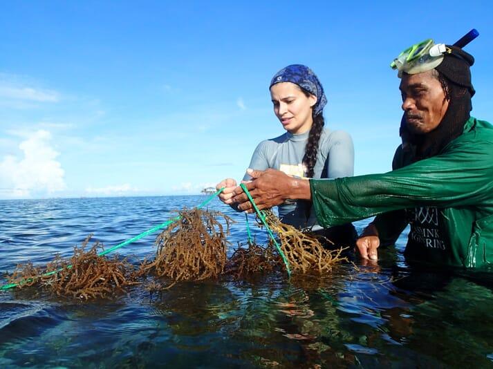 Dr Valeria Montalescot of SAMS helps harvesting seaweed at a farm in Bohol, Philippines as part of GlobalSeaweedSTAR