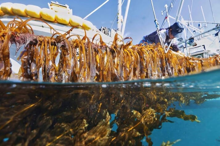 WWF aim to use some of the $100 million grant to scale up commercial seaweed production around the North Atlantic Rim