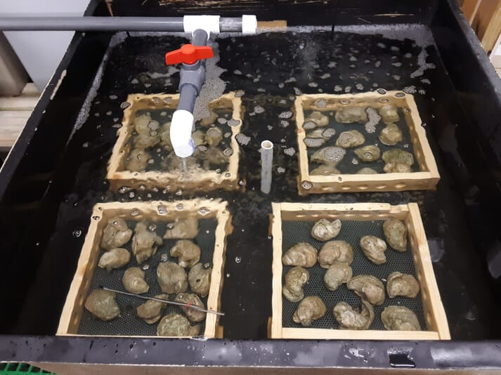 Conditioning oyster broodstock in a lab