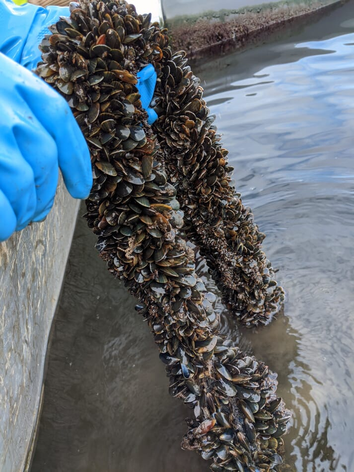 Mussels spat growing on a line submerged in water