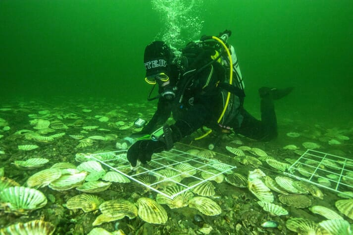 Dr Bill Sanderson, head of the DEEP project, laying native oysters in the Dornoch Firth in the hopes of establishing a new reef