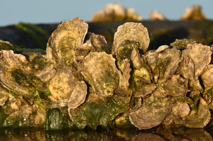 Pacific Hybreed plans to transfer its hybridisation skills to Crassostrea virginica - an oyster species that's native to the USA's Atlantic seaboard