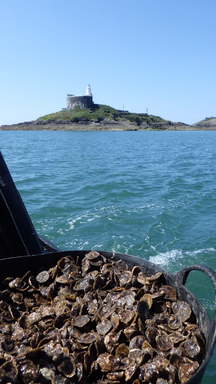 Some of the juvenile native oysters, with Mumbles Lighthouse in the background