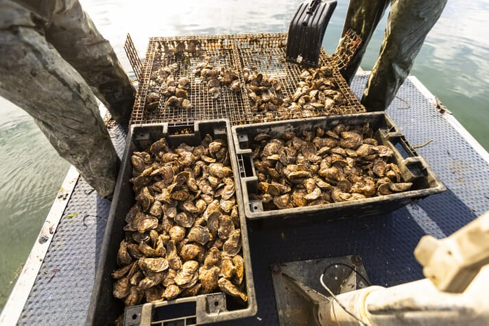 The oysters are due to create 27 acres of ecologically valuable new reefs