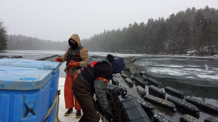 Oyster farmers in Maine