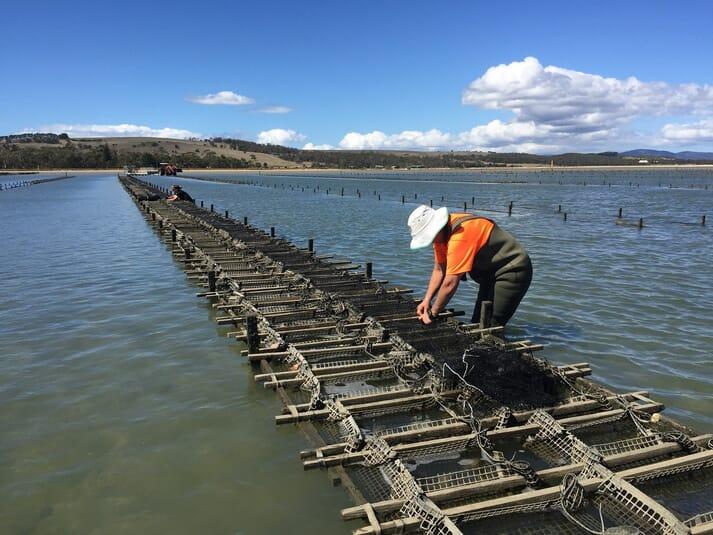 ASI broodstock conditioning in Pipe Clay Lagoon, Tasmania