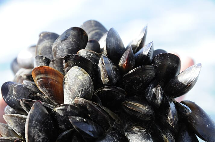 Improving the quality of algae used in hatcheries could be a major boost to the mussel sector