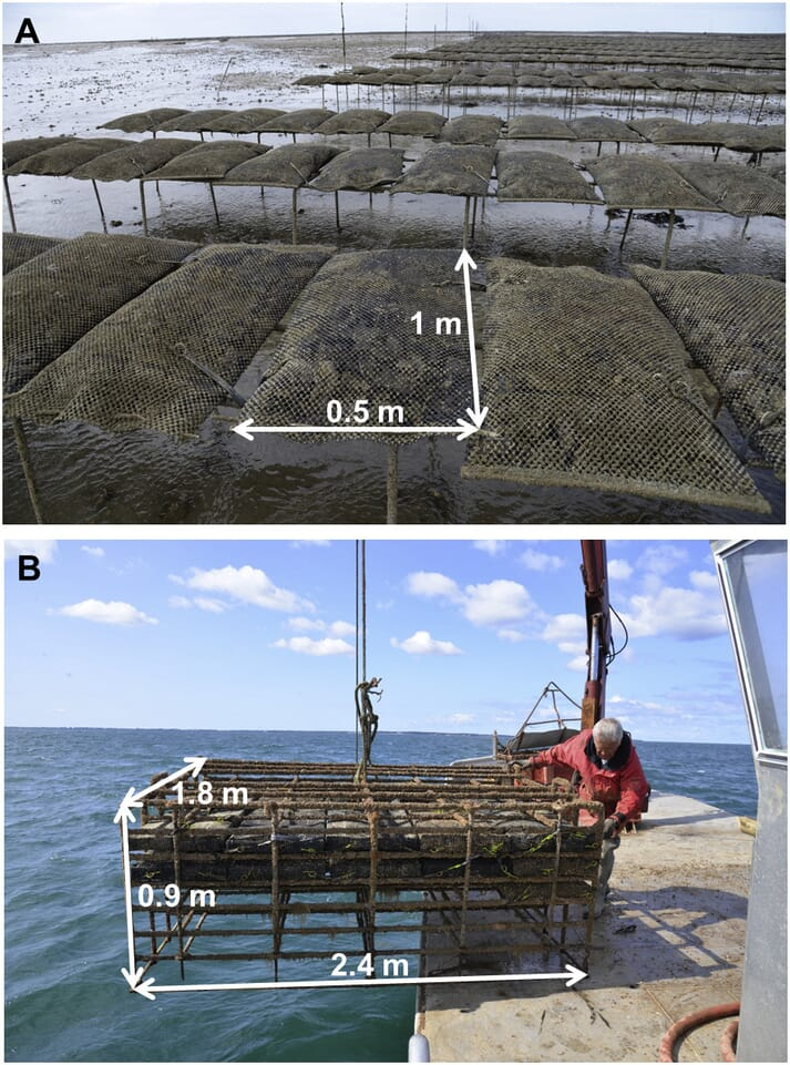 Oysters grown in an experimental cage (bottom) placed on the seabed grew faster than those grown on traditional trestles (top)