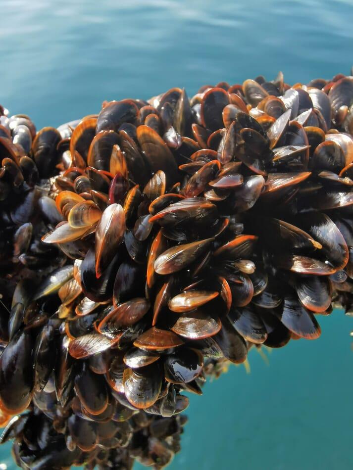 Rope-grown mussels