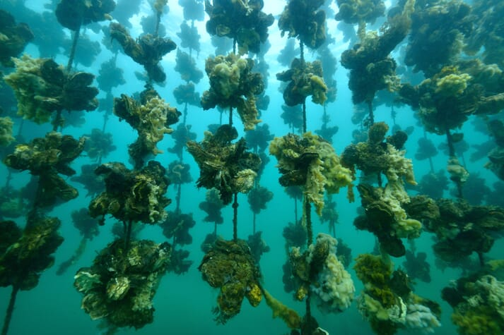 Ropes with oysters growing underwater
