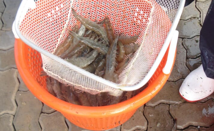 Using probiotics in shrimp farming can reduce environmental pollutants and reduce farm costs