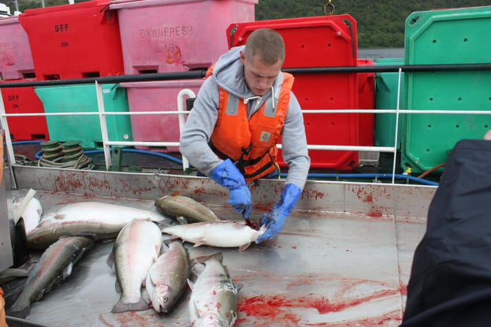 Slaughtering methods for farmed salmon and trout - which are stunned before being bled - are among the best in the world