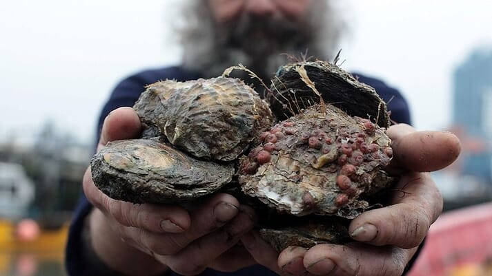 Native oyster (Ostrea edulis) numbers have nosedived in the Solent since the 1970s