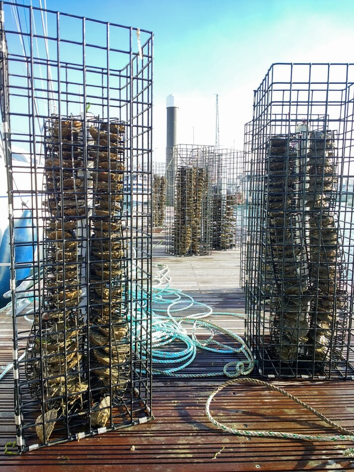 Mature oysters have been installed in microreefs and placed in 10 marinas around the Solent in order to help reseed the waterway with oyster larvae