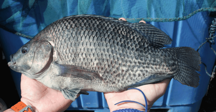 1,500 tilapia broodstock are now at FAI's site.