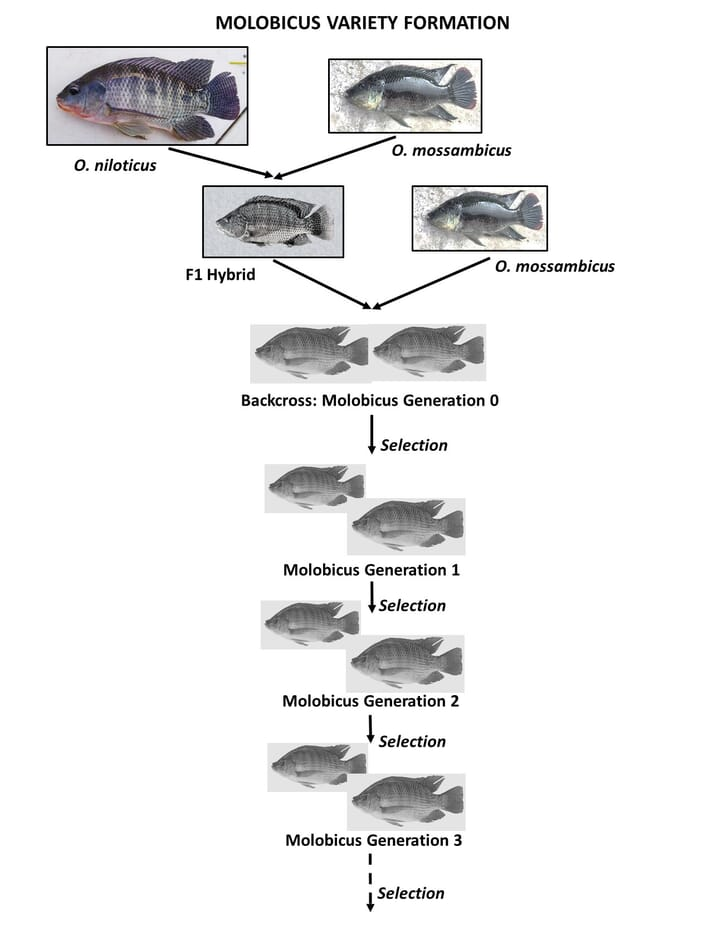 How the Molobicus strain of tilapia was produced in the Philippines