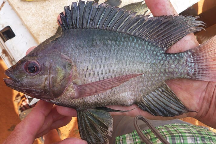 Escaped Nile tilapia are cross-breeding with local varieties, posing a threat to biodiversity and the growth rates of farmed fish