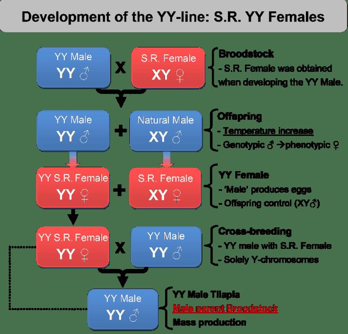 The development of YY lines at Til-Aqua