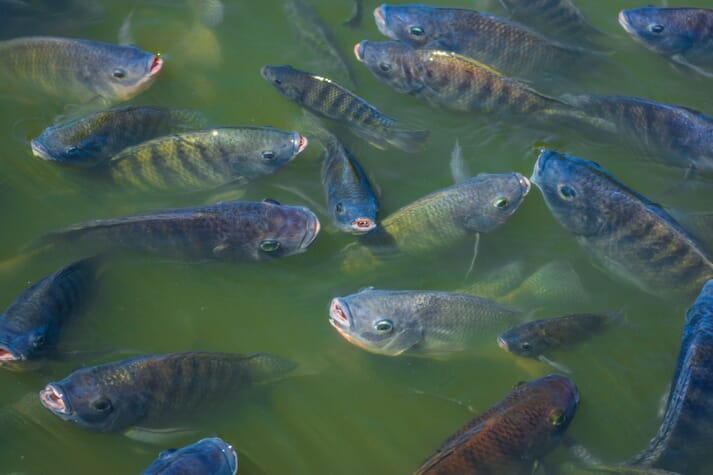 Stressful, crowded environments will cause tilapia to spawn when smaller