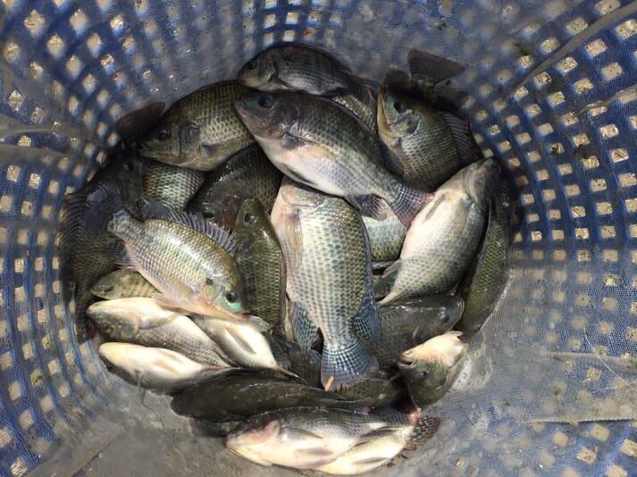 Fish from an improved line of Nile tilapia