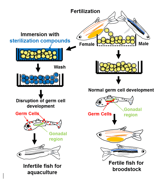 A flow chart of the bath immersion method to produce infertile fish for aquaculture and fertile fish for broodstocks. Sterilization compounds, administered by bath immersion, disrupt germ cell development at very early stage, which results in production of infertile fish. Broodstocks can be generated by simply skipping the immersion.