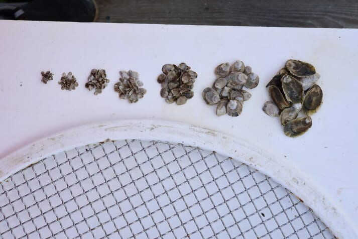 Grading juvenile oysters at the hatchery