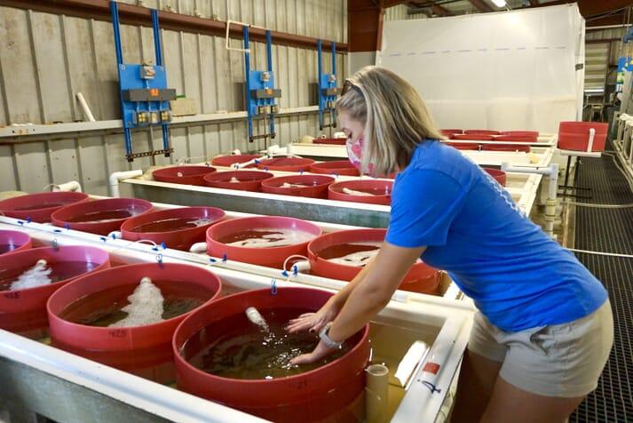 Parks aims to produce 400 million clams a year