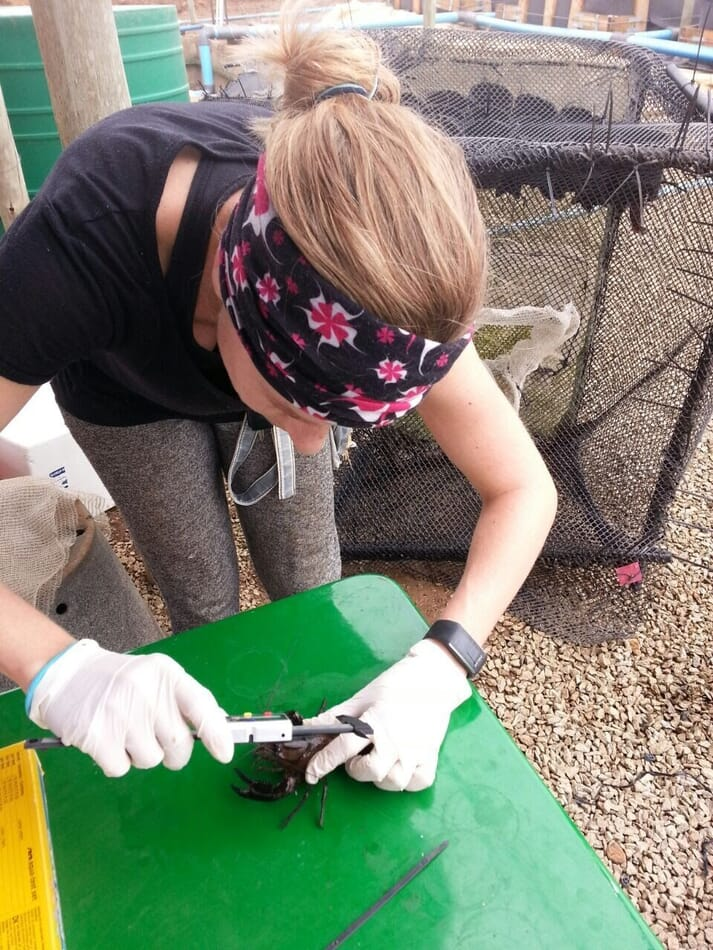 Measuring the grow-out rate of crayfish