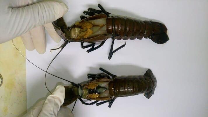 Dissecting crayfish