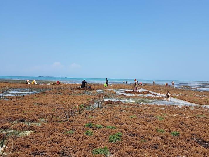 A seaweed farm in Dimani, Zanzibar