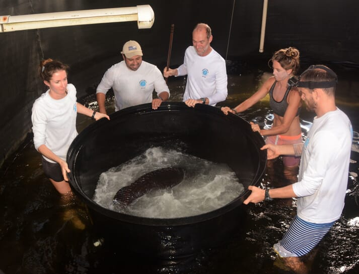 Lisa, Helen, and the research team preparing to anesthetise a 100kg giant Pacific grouper before being transported to an aquarium in New Jersey