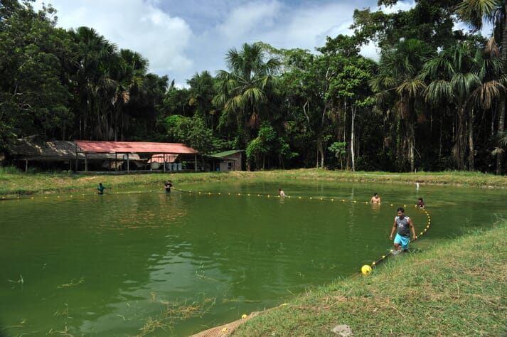 Capturing broodstock to be induced, IIAP, Iquitos