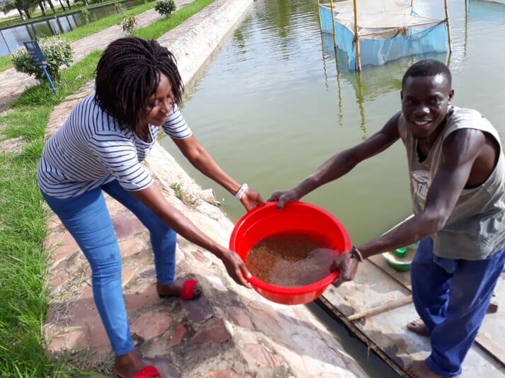 Collecting tilapia fry