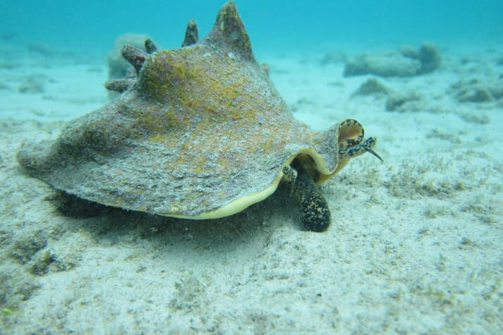 A queen conch in its natural environment
