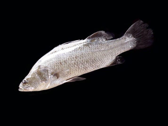 Asian seabass (also known as barramundi) were shown to perform best in tanks with a black background