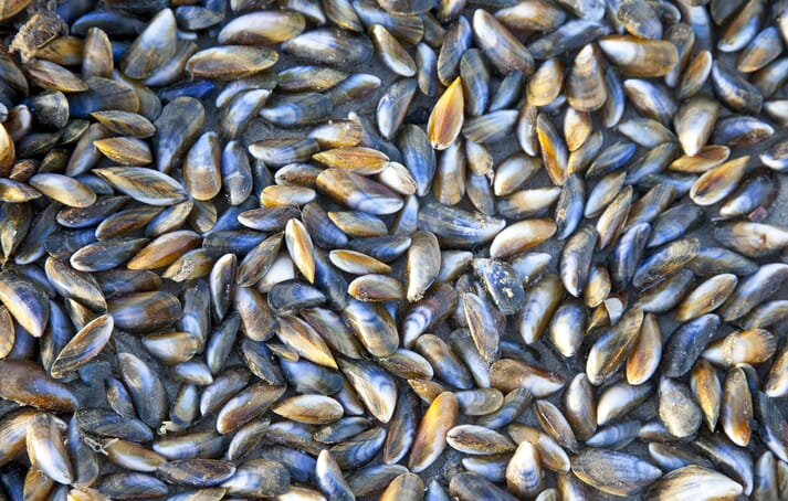 One of the four SAIC-funded projects is investigating spat mortality in farmed blue mussels (Mytilus edulis)