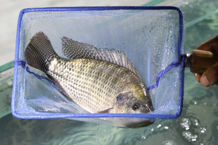 2020 is likely to experience the first year-on-year decline in global tilapia production on record