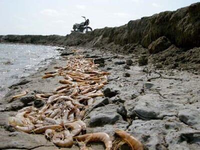 Abadan shrimp site