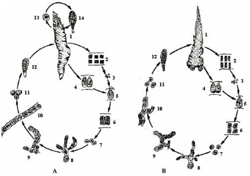 Life cycle diagram porphyra spp