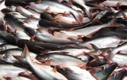 Myanmar's aquaculture exports include pangasius and shrimp