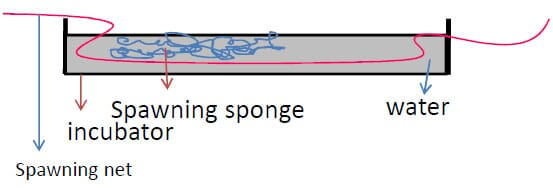Diagram showing the spawning net, spawning sponge arrangement in an incubator