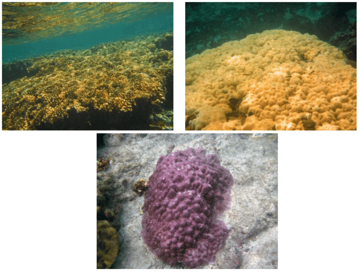 Unbleached Corals around Seca Islands