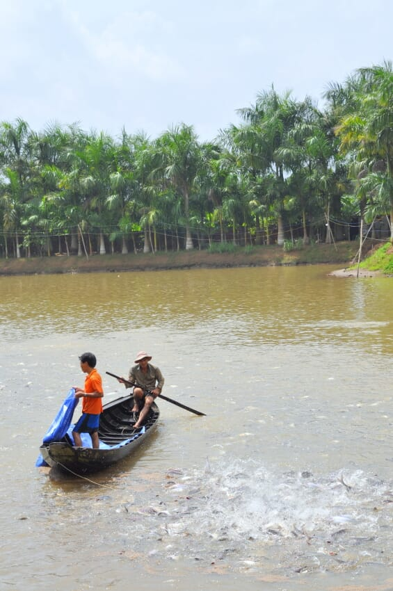 Pangasius farmers netting fish in a canoe