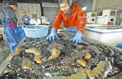 Sea cucumbers piled on a table with a person standing in the background