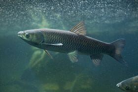 Mike Freeze produces triploid grass carp (pictured) and hybrid striped bass in 1000ha of ponds in Arkansas.