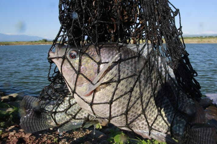 The trials were undertaken in Egypt, which produces 900,000 tonnes of tilapia a year