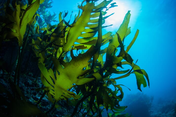 Extracts from Saccharina japonica, one of the most widely consumed seaweed species in China and Japan, could be effectively used in nasal sprays to combat the virus that causes Covid-19