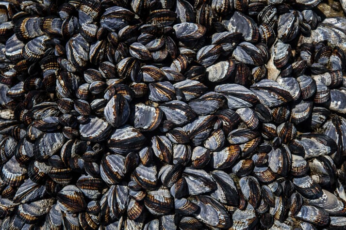 The authors of the study suggests that contagious cancers - harmful only to shellfish - can be spread across the Atlantic via mussels attached to the hulls of boats